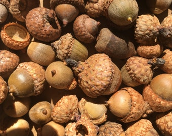 Beautiful All Natural lot of Acorns, Oak Tree Acorns, Fall Decoration, Potpourri, Arts and Crafts Supply