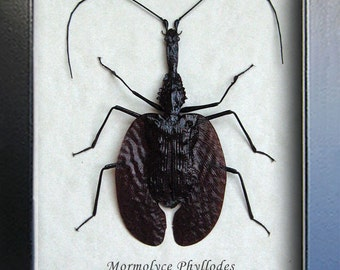 Real Violin Beetle Mormolyce Phyllodes Museum Quality In Display