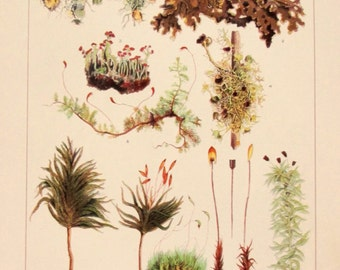 Mosses and Lichens Botanical Chomolithograph from the 1905 International Encyclopaedia