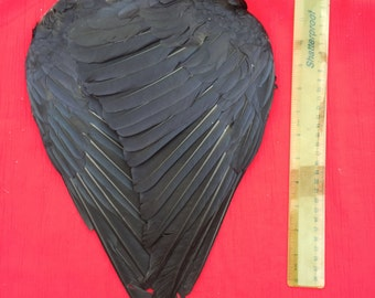 A Pair of English Carrion Crow Wings air dried and ready for use.