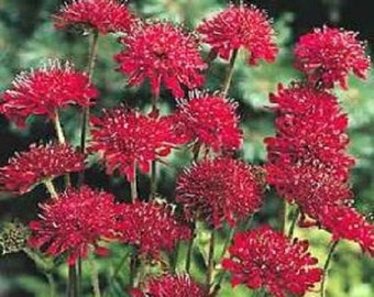 Red Knight Knautia Pincushion Scabiosa / Perennial Flower Seeds