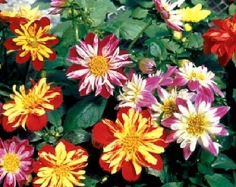 30+ Harlequin Mix Bi-Color Dahlia / Early Blooming Flower Seeds