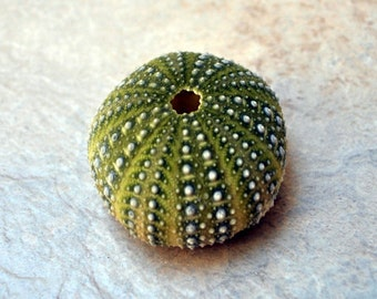 "Green Mexican Sea Urchin (1.5 - 2.5"") - Strongylocentrotus Drobachiensis"