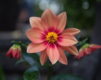 Pink Dahlia Print - Flower Photography - Nature Art - Floral