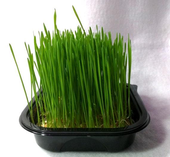 Wheatgrass Deals On 1001 Blocks