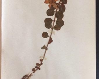 1920 Herbarium Specimen
