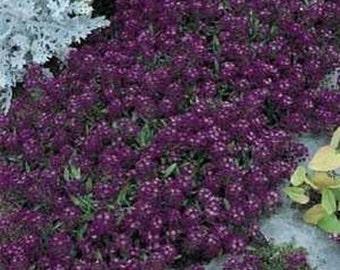 Alyssum- Oriental Nights- 200 Seeds each pack