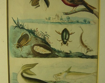 antique coloured steel etching animals by H. J. Pedretti