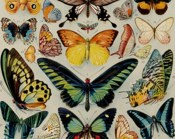1920 Vintage print of BUTTERFLIES, different species. Insects. Entomology. Butterfly. 96 years old nice plate