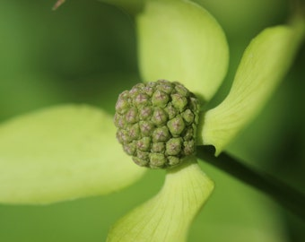 Nature Photography . Digital Download Photography . Dogwood Flower . Green Chartreuse . Minimalist Photograph . Color Photograph