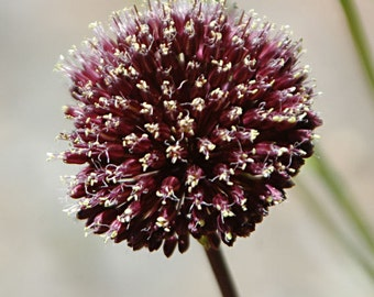 Allium jajlae Seeds, Allium rotundum, Allium scorodoprasum Seeds round-headed leek or purple-flowered garlic