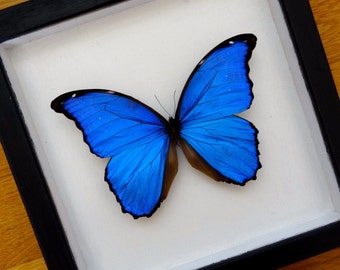 Real Morpho Didius Framed - Taxidermy - Home Decoration - Collectibles - STUNNING BIG SPECIMEN!