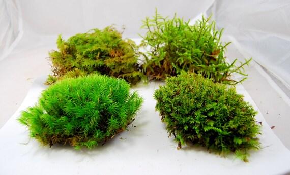 Moos-Mischung zu leben. Terrarium Moos Vivarium von Scandicreations