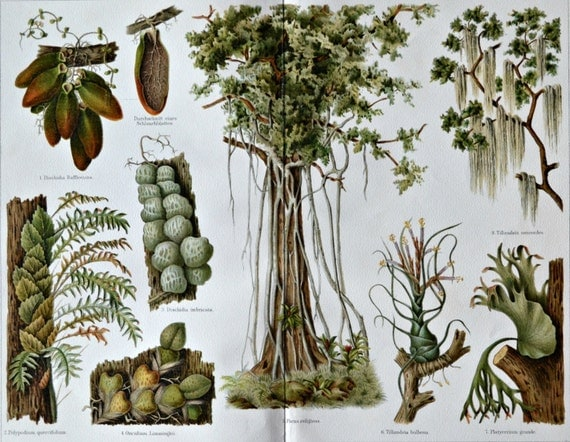 Epiphyte print. Botany print. Plants. Old book plate, 1904. Antique illustration. 112 years lithograph. 9'6 x 11'7 inches.