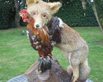 REDUCED from  230 to 85 Euro's Best Bargain of the year! Vintage French Taxidermy Red Fox with Chicken on Wooden Branch