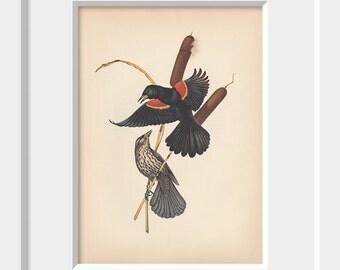 Vintage Art | Redwing Blackbird | Book Plate | Bird | Illustration | Menaboni's Birds | Menaboni | 1950s | Black
