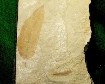 Fossil Leaf from Oregon