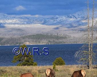 Elk Grazing in Yellowstone print. Canvas photo print. Canvas Photography. Wall Art. 8x10, 11x14, 16x20, 20x24.