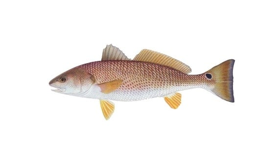 Items similar to redfish decal red fish bumper sticker for Saltwater drum fish