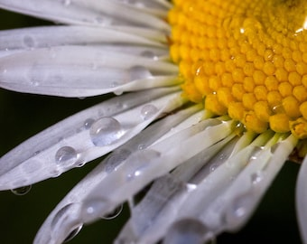 Water Drops on Daisy Photographic Print 5x5 8x8 Fine Art Nature Photography Wall Art Home Decor Flower Photo