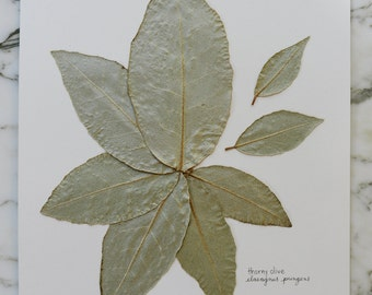 Real pressed olive leaves, 8x10""