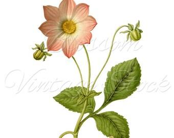 Botanical Print, Pink Flower Digital Image, Antique Illustration INSTANT DOWNLOAD Botanical Digital Image - 1613
