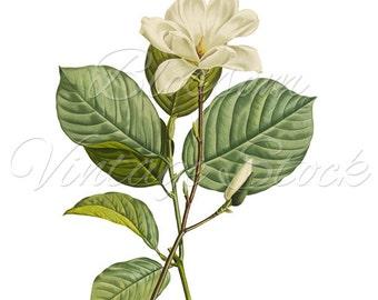 Magnolia Botanical Print, Magnolia Vintage Instant Download Digital Image, Antique Illustration for Print, Artwork - INSTANT DOWNLOAD - 1302