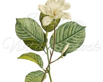 Magnolia clipart | Etsy