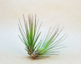 Tillandsia Juncifolia Air Plant (small) // Hello Tilly Airplant