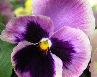 On Canvas Beautiful Purple Pansy Image #128