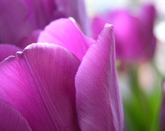 Purple Tulips Photograph #18