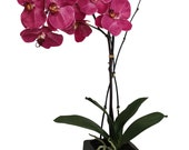 Scented Silk Fuchsia Phalaenopsis Orchid in Clay Planter
