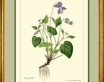 DOG VIOLET - Vintage Botanical print reproduction 223
