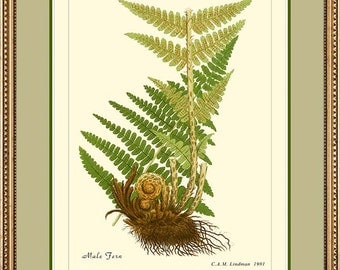 MALE FERN - Vintage Botanical print reproduction 501