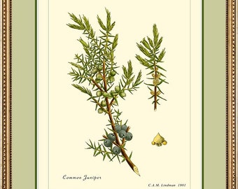 COMMON JUNIPER - Vintage Botanical print reproduction 497