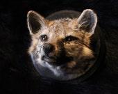 Pensive Little Grey Fox Head Mount Taxidermy Oddity Curio Weird