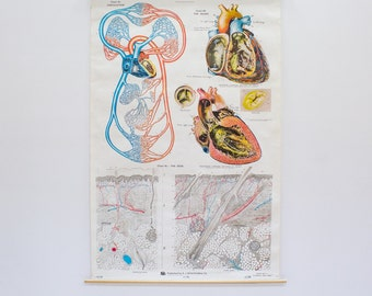 Frohs Anatomical Chart by Max Brodel, Heart / Circulation / Skin