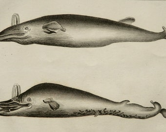 1837 Antique print of WHALES. Sea Life. Marine Mammals. Natural History. 180 years old engraving