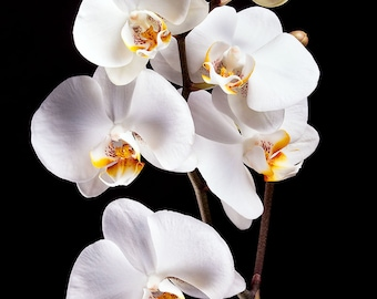 White Orchids - Photography Print