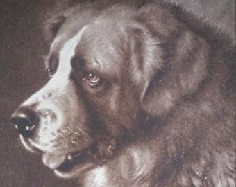 Antique St. Bernard Dog Postcard unused Bayard by Frank Paton