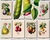 FRUITS VEGETABLES-25 Collection of 70 vintage images Bean Avocado Pineapple Mango Nutmeg pictures High resolution digital download printable