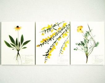 Yellow and Orange Flowers Print Set, #164 125a 61b, botanical print set of 3 black eyed susan scotch broom california poppy pressed flowers
