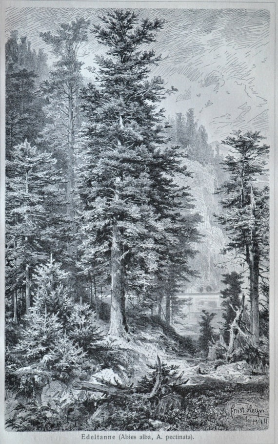 European silver fir. Silver fir print. Botany. Old book plate, 1904. Antique  illustration. 111 years lithograph. 9'6 x 6'2 inches.