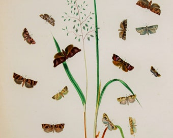 Large Antique Moth Print, 1860 Hand Coloured Engraving by Humphreys - Brown Moths on Grass (Plate 80)