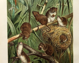 1890 amazing  antique harvest mouse print, curious mouse engraving, curiosity oddity rodents color lithograph illustration.