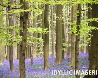 Wild bluebells in the forest of Halle (Belgium)