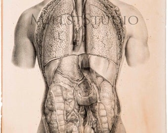 Anatomical sheet. Ensemble des visceres des cavites thoracique et abdominale. Reproduction of the drawing of the Treaty Anatomy of man