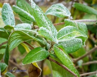 Green Winter Leaves Photo