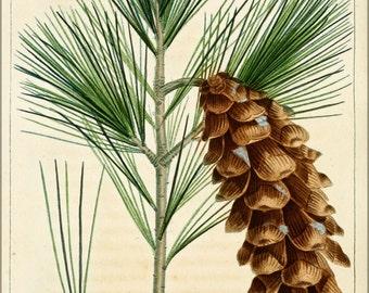 24x36 Poster . White Pine. Pinus Strobus 1819