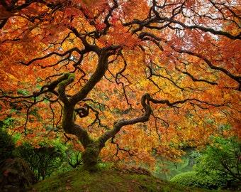 Portlands Famous Japanese Maple
